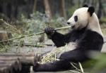 В Китае от чумки продолжают умирать панды