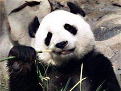 В Китае от вируса чумы умерла еще одна панда