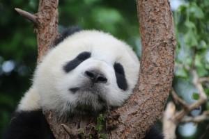 В Китае панда пыталась съесть скрытую камеру