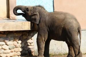 В Китае поймали слона, кравшего еду и посещавшего школы и рынки
