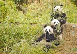 В Китае построят экокоридоры в местах обитания панд