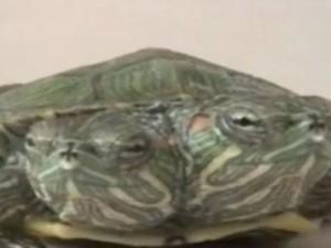 В Китае появилась на свет черепаха с двумя головами