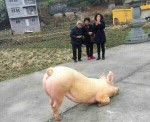 В Китае появилась свинка, молящаяся неподалеку от буддистского храма