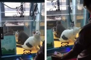 В Китае появились автоматы, в которых мягкие игрушки заменены котятами
