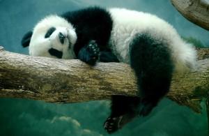 В Китае появился детский сад для больших панд