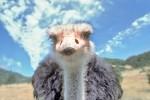 В Китае страусы устроили побег с фермы