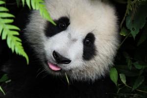 В Китае живет панда, любящая спорт и душ