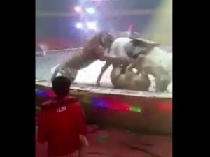 В интернете появилась видеозапись нападения тигра и львицы на цирковую лошадь
