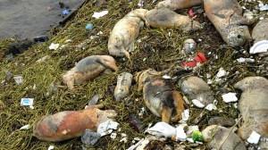 В китайской реке были выловлены мертвые свиньи