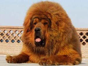 В китайском зоопарке залаял лев
