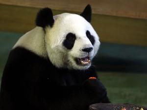 В зоопарке Тайбэя разоблачили панду, которая притворялась беременной ради лакомств и кондиционера