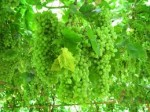 Виноградная долина в Китае