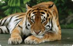 За рагу из тигра китаец отсидит 13 лет