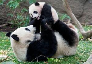 За жизнью панд можно будет следить он-лайн