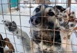 Зоозащитникам удалось спасти от съедения около 100 собак