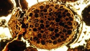 В Китае обнаружены окаменелые эмбрионы возрастом 600 млн лет