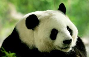 Китай не согласен с исключением больших панд из категории «вымирающий вид»