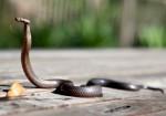 Туристы пытались провести через таможню Шэньчжэня 178 змей