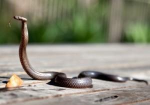 живые змеи
