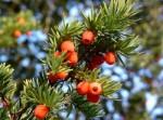 3000-летнее дерево обнаружено в провинции Цзилинь