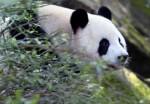 В провинции Сычуань создадут национальный парк больших панд