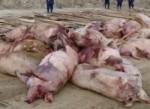В Восточном Китае эпидемия ящура