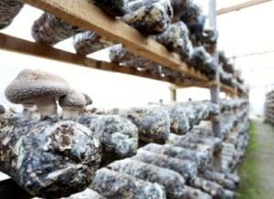 70% мирового производства съедобных грибов приходится на Китай