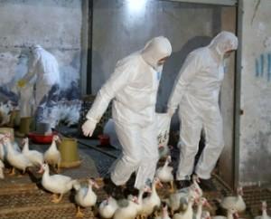 В Китае начинается эпидемия «птичьего гриппа»