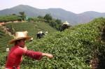 Интересные факты про китайский чай