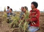 Крестьяне провинции Хэбэй скорбят о гибели 21 га урожая