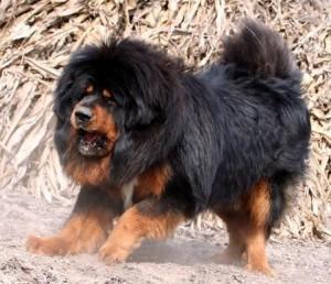 Китай, собаки, турецкий мастиф