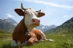 В Китае корова покаталась на льду