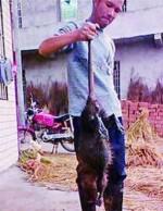 В провинции Хунань поймана 5-килограммовая крыса-монстр