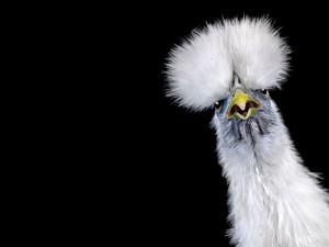В Хубэе выбрана «Мисс Курица» 2014