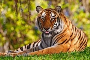 В Китае нашелся тигр Кузя