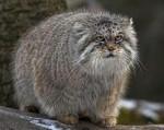 Манул – самый древний вид кошек