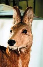 Кабарга – приятно пахнущий олень с клыками