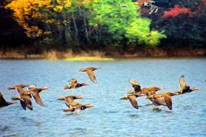 На озере Поянху начали собираться перелетные птицы