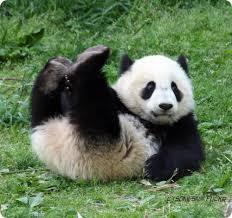 Панды помогут Китаю наладить отношения с Малайзией