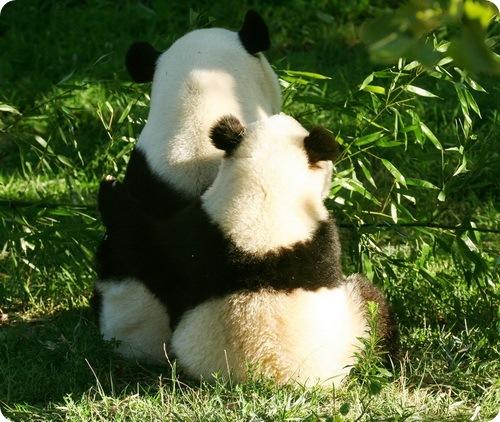 25 интересных фактов о Пандах
