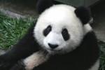 Панда — символ Китая