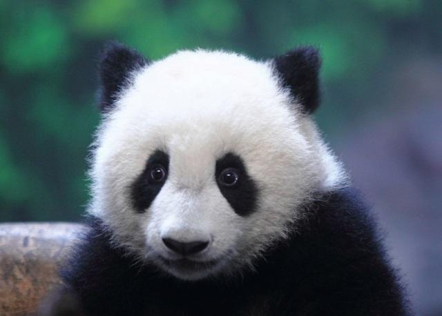 панды2