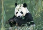 Панды будут голодать?