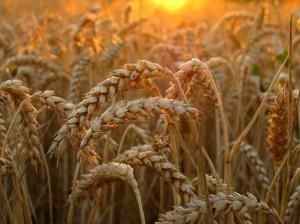 В Китае собран рекордный урожай летних зерновых