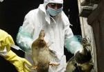 Китайский Минсельхоз: птичий грипп передается между людьми