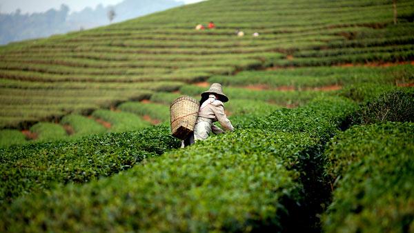 3 главных сельскохозяйственных культуры Китая