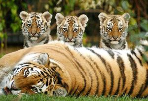 В Китае родилось 4 тигренка уссурийского тигра