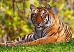 70 тигрят родилось в тигрином заповеднике Хэйлунцзяна