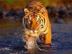 Тигр Кузя остается зимовать в Китае