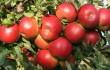 яблоки из китая2